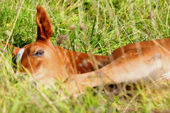 Foal sleeping Stock Image