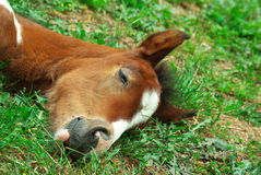 Foal is sleeping. Royalty Free Stock Image