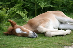 Foal sleeping on grass Royalty Free Stock Photos