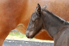 Foal sleeping next to mare Royalty Free Stock Image