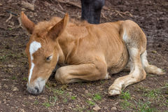 Foal sleeping and secure under his mom leg Royalty Free Stock Photography