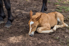 Foal sleeping and secure under his mom legs Royalty Free Stock Photos