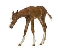 Foal sniffing and looking down Stock Photo