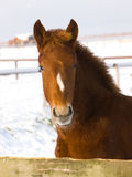 Foal In The Snow Stock Image