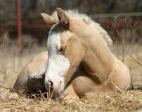Foal sonnolento Fotografie Stock