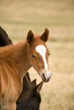 foal sorrel τετάρτων αλόγων στοκ εικόνα