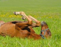 foal sorrel Στοκ Εικόνα