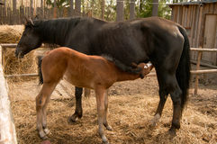 Foal. Sorrel foal and his mother Stock Photography