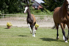 Foal Sporthorse Royalty Free Stock Photos