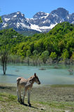 Foal in the spring mountain Royalty Free Stock Images
