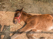 A foal in the stable Stock Photos