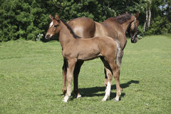 Foal standing behind mare Royalty Free Stock Images