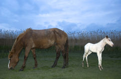 A foal standing with it`s mother Stock Photo