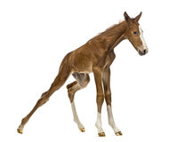 Foal standing up and balancing Royalty Free Stock Images