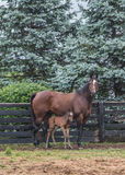 Foal Stands Close to Mare in Paddock Royalty Free Stock Photos