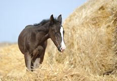 Foal stands in haystacks Stock Photos