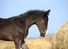 Foal stands in haystacks Stock Image