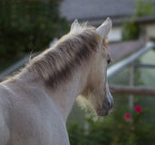 Foal. The foal stands at the side to the Garden House Stock Photos