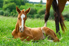 Foal su erba verde Fotografia Stock