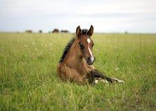 Foal su un prato Fotografia Stock Libera da Diritti