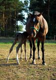 Foal Suckling Her Mother Royalty Free Stock Image