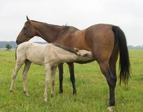 Foal suckling his mother Royalty Free Stock Photos