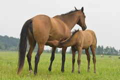 Foal suckling his mother. A brown foal suckling his mother Stock Photography