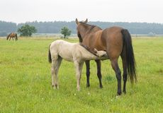 Foal suckling his mother. A white foal suckling a brown mare Stock Image