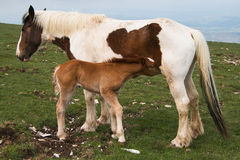 Foal suckling his mother Royalty Free Stock Photography