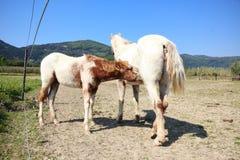 Foal suckling milk Stock Images