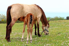 Foal is Suckling the Milk. On the Grass Stock Images
