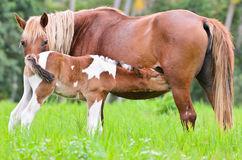 Foal suckling from mother Stock Image