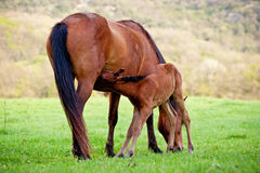 Foal sucks mare Stock Photos