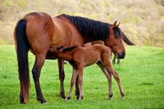 Foal sucks mare. On a green meadow royalty free stock photography