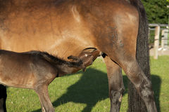 Foal sucks at Mare Royalty Free Stock Photography