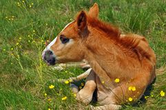 Foal on a summer pasture Royalty Free Stock Images