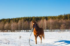 Foal in a sunny winter field trots royalty free stock photography