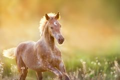 Foal at sunset light. Colt portrait run at sunset light in meadow stock photos