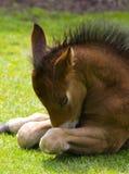 Foal sveglio Fotografia Stock
