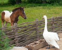 Foal and swan. Friends talk Stock Images