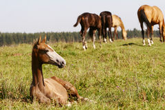 Foal taking rest Royalty Free Stock Photos