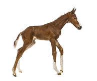 Foal trotting Royalty Free Stock Image