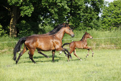 Foal trotting mares Royalty Free Stock Photography