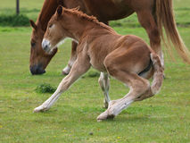 Foal Trying To Stand Stock Photos