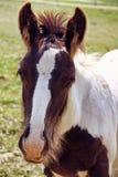 Foal Vanner τσιγγάνων στοκ φωτογραφίες