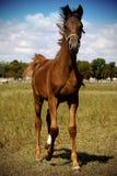 Foal walking in field. Foal walking in summer field stock photography