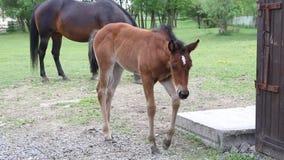 Foal walking in pasture stock footage