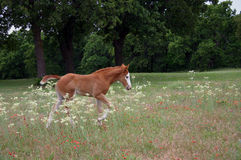 Foal Walking in Wildflowers. One month old filly walking through field of Queen Anne's Lace, Indian Paintbrush and Indian Blanket, oak trees in background, north Royalty Free Stock Photos