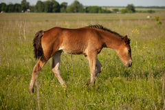 Foal walks across the field and eat grass Royalty Free Stock Photography