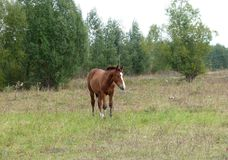 Foal walks on the edge of the forest royalty free stock photos